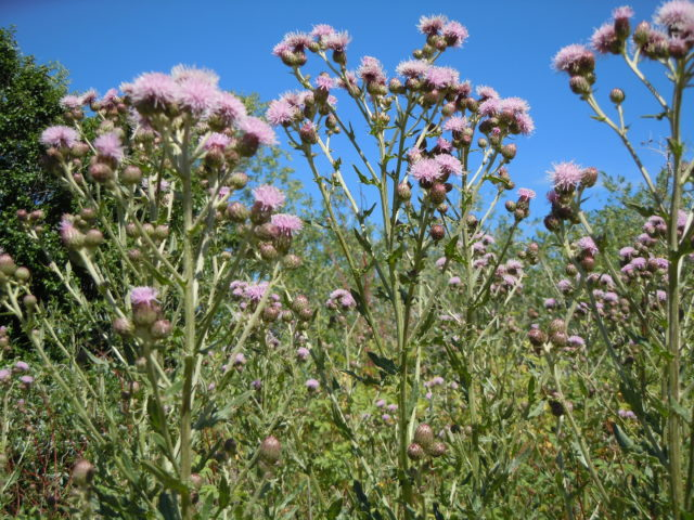 Califoenian Thistle